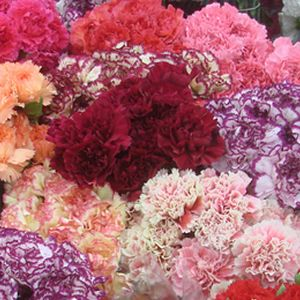 Fresh batch of Carnations in all colors!