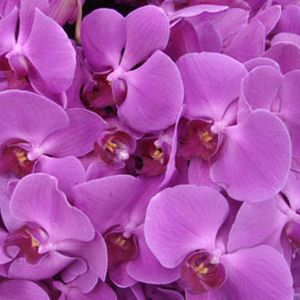 New Orchids just in! All new colors!