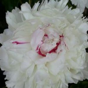 Peonies are Here and We Have Them For YOU!