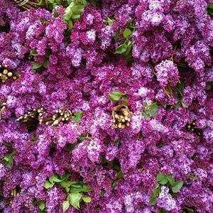 Lush Lilacs Are HERE and We've Got Them!