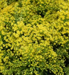 Solidaster (Golden Rod)