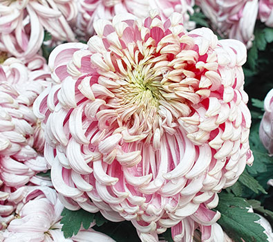 Beautiful white China Mums prices dropping come by and check them out.