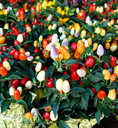 Ornamental Pepper Plant